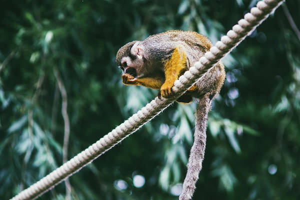 Squirrel Monkey Wall Art - Photograph - Squirrel Monkey On Rope by Pati Photography