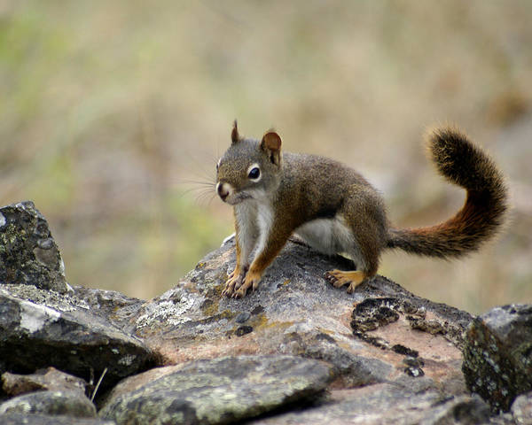 Photograph - Squirrel On A Rock by Ben Upham III