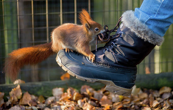 Photograph - Squirrel On Boot  by Cliff Norton