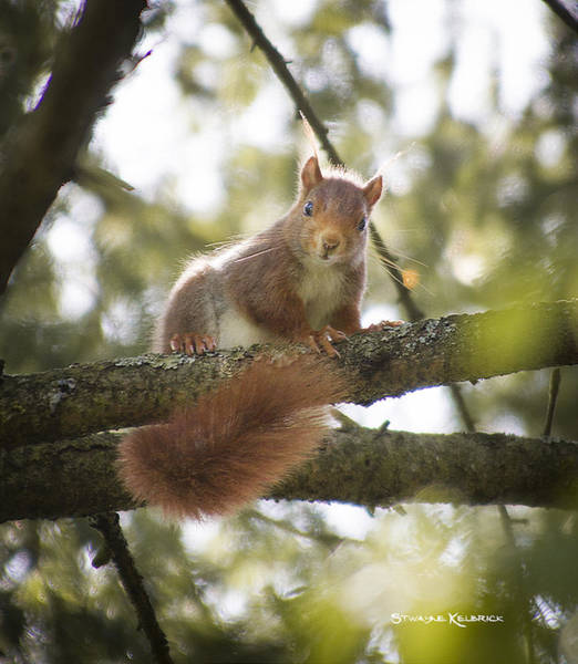 Photograph - Squirrel On The Spot by Stwayne Keubrick