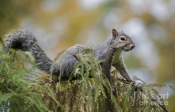 Photograph - Squirrel Portrait by Andrea Silies