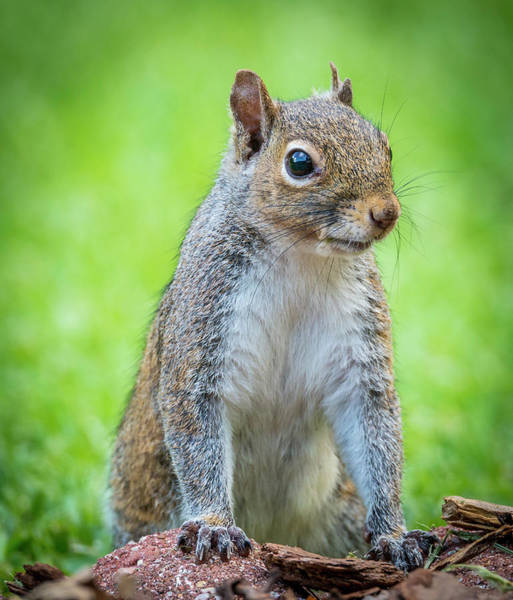 Photograph - Squirrel Portrait by Philip Rispin