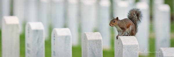Photograph - Squirrel - Salisbury National Cemetery 9236 by Dan Beauvais