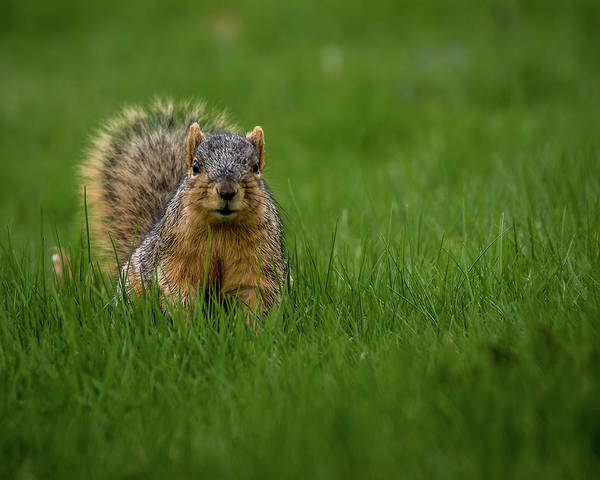 Photograph - Squirrel Stare Down by Ron Pate