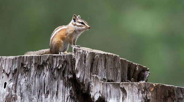 Photograph - Gray-collared Chipmunk by Tam Ryan