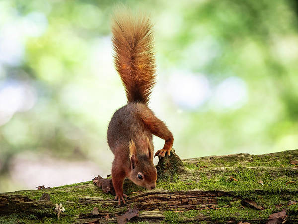 Photograph - Squirrel Yoga by Framing Places