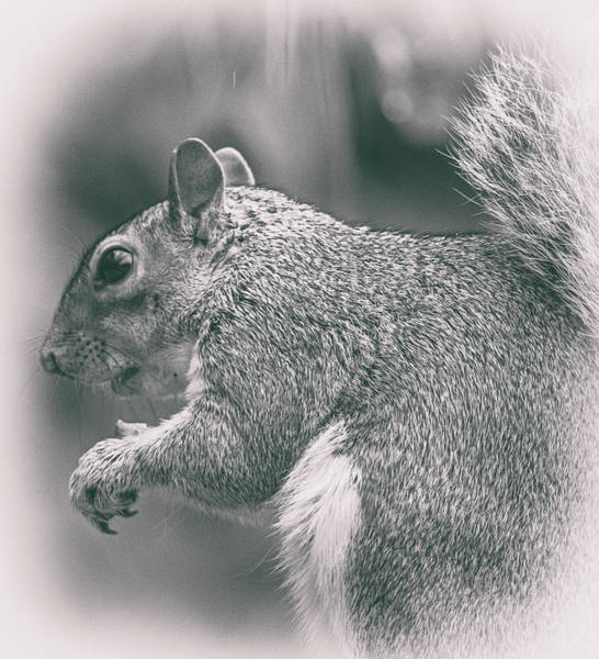 Wall Art - Photograph - Squirrell by Martin Newman
