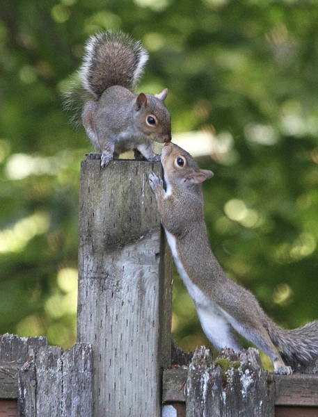 Squirrel Photograph - Squirrelly Affection by Angie Vogel
