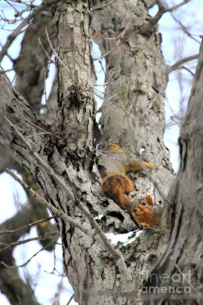 Photograph - Squirrels At Play Vertically by Angela Rath