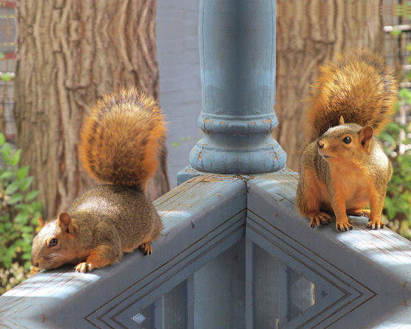 Squirrels Balancing On A Railing Art Print