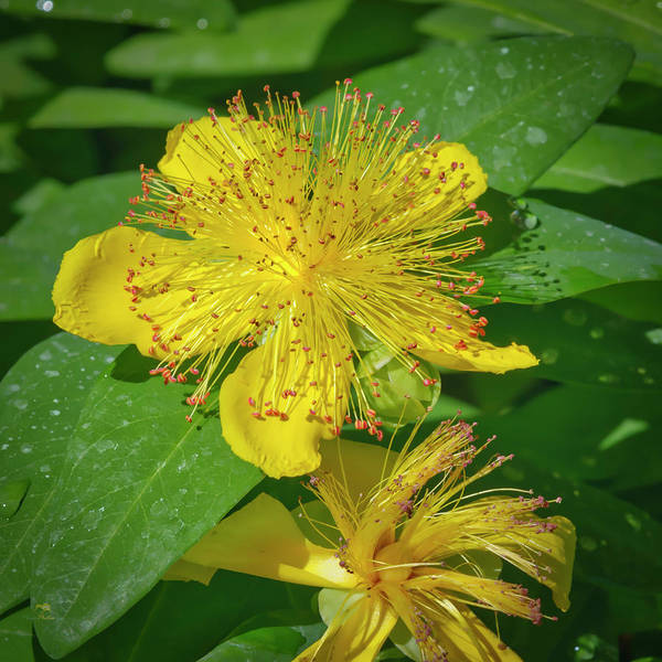 Photograph - St. John's Wort by Jim Thompson
