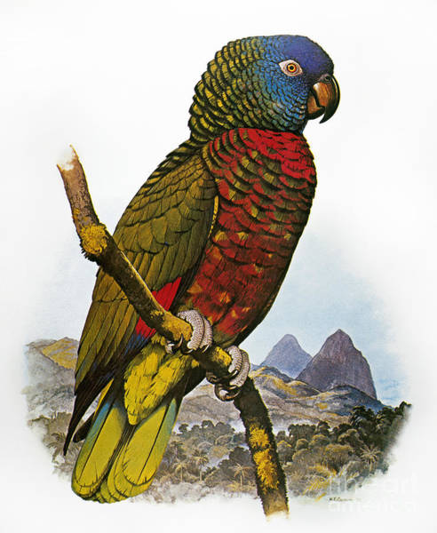 Wall Art - Photograph - St Lucia Amazon Parrot by Granger