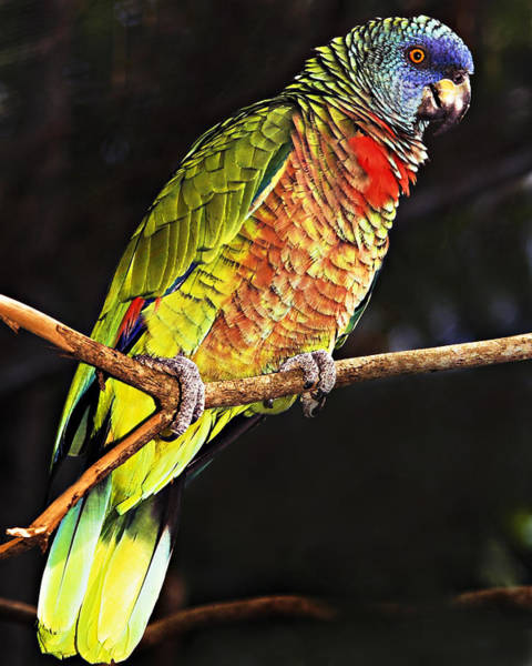 Saint Lucia Photograph - St Lucia Parrot by Chester Williams