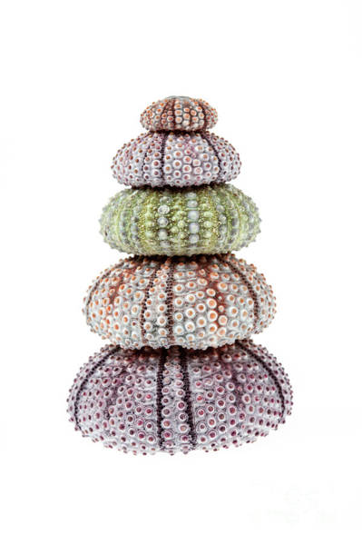Wall Art - Photograph - Stack Of Sea Urchins by Elena Elisseeva