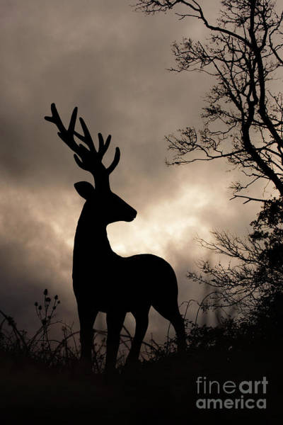 Photograph - Stag 001 by Clayton Bastiani