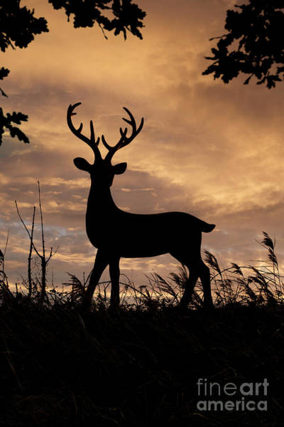 Photograph - Stag 002 by Clayton Bastiani