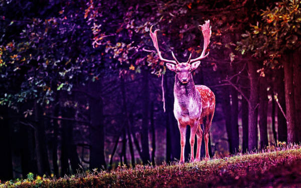 Photograph - Stag by Artistic Panda