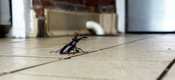 Photograph - Stag Beetle On Tiled Floor A by Jacek Wojnarowski