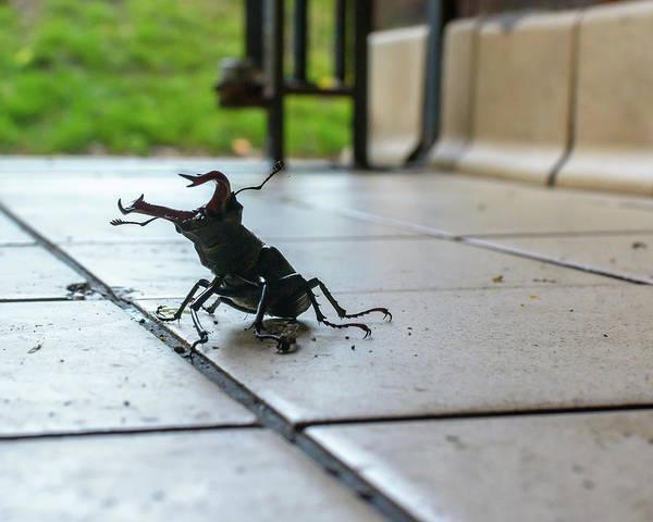 Photograph - Stag Beetle On Tiled Floor B by Jacek Wojnarowski