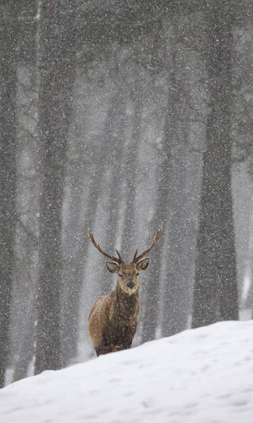Photograph - Stag In The Snow by Peter Walkden