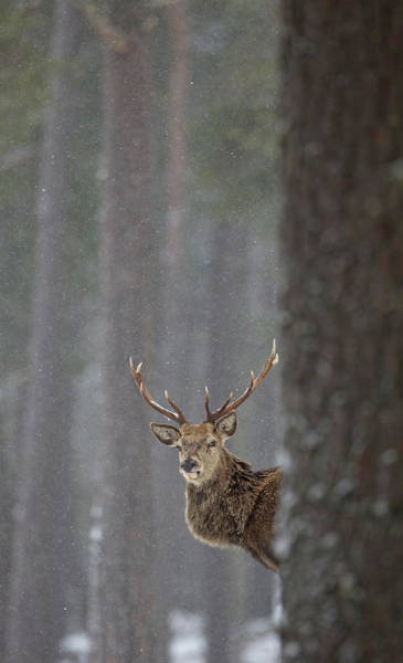 Photograph - Stag Peers Round A Tree by Peter Walkden