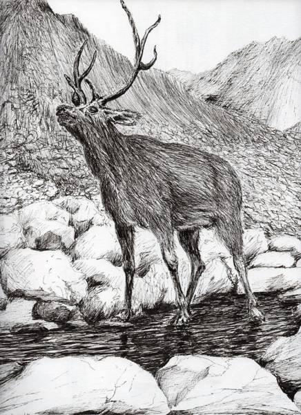 Antlers Drawing - Stag by Vincent Alexander Booth
