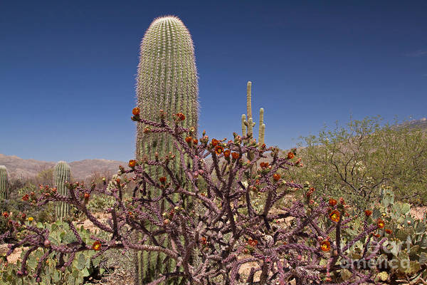 Wall Art - Photograph - Staghorn Cholla And Saguaro Cactus by Kenneth M. Highfill