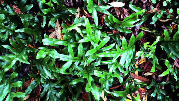 Staghorn Fern Photograph - Staghorn Fern With Dead Leaves by Nareeta Martin