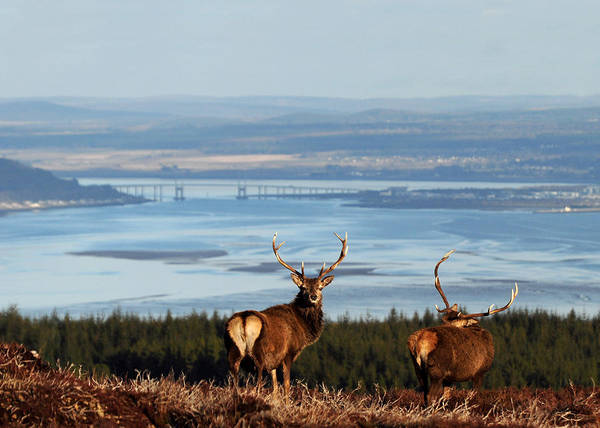 Photograph - Stags Above The Beauly Firth And Inverness by Gavin MacRae