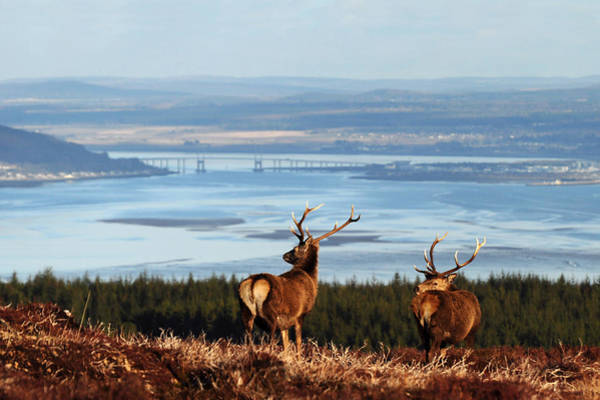 Photograph - Stags Overlooking The Beauly Firth And Inverness by Gavin Macrae