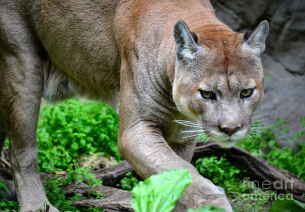 Puma Photograph - Stalking by Deb Halloran