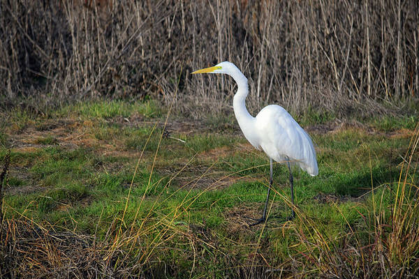 Photograph - Stalking Egret by Frank Wilson