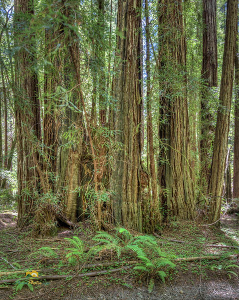 Photograph - Stand Of Redwoods by Jim Thompson