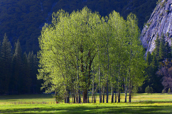 Photograph - Stand Of Trees Yosemite Valley by Garry Gay