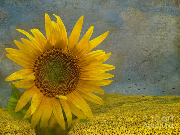 Sunflower Field Photograph - Stand Out by AJ Yoder