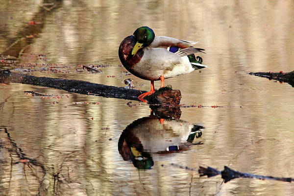 Greenhead Photograph - Stand Up Sleeper by Debbie Oppermann