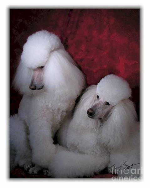 Poodle Digital Art - Standard Poodle White by Maxine Bochnia