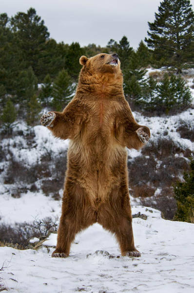 Standing Grizzly Bear Art Print