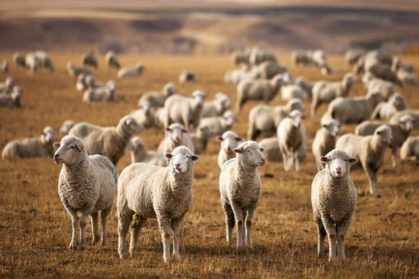 Farms Photograph - Standing Out In The Herd by Todd Klassy