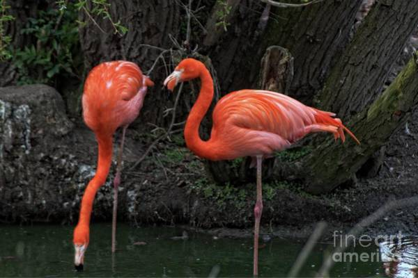 Photograph - Standing Pink Flamingo's by Doc Braham