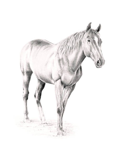 Drawing - Standing Racehorse by Elizabeth Lock