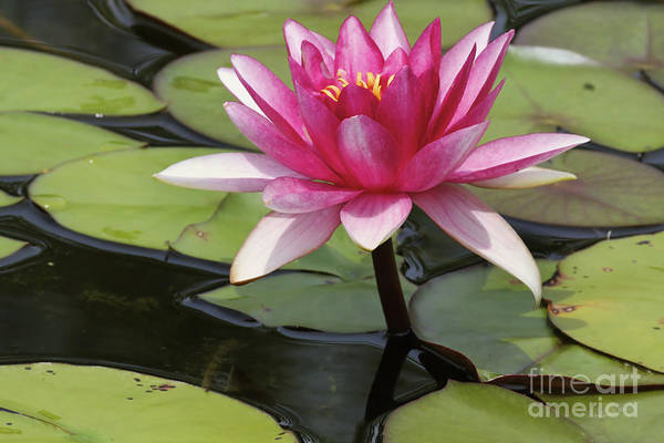 Lillypad Photograph - Standing Tall In The Pond by Deborah Benoit