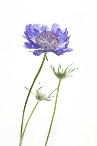 Cornflowers Photograph - Standing Tall by Rebecca Cozart