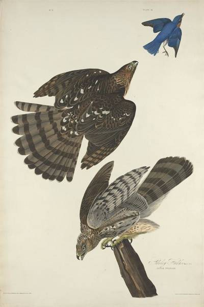 Wall Art - Drawing - Stanley Hawk by Dreyer Wildlife Print Collections