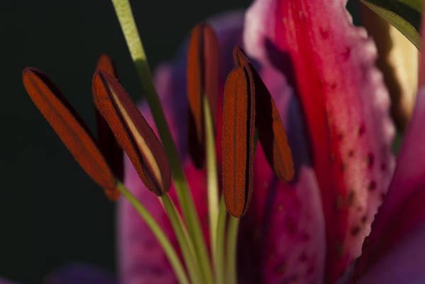 Photograph - Star Gazer Lily by Robert Potts