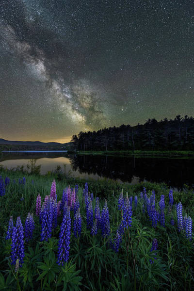 Photograph - Star Lupines by Michael Blanchette