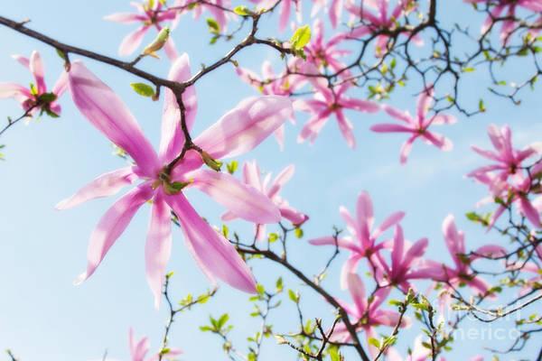 Photograph - Star Magnolia 1 by Chris Scroggins