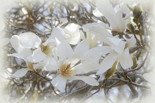 Wall Art - Photograph - Star Magnolia Blossoms by Sandy Keeton