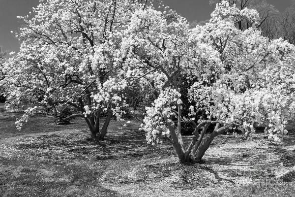 Photograph - Star Magnolia Trees by Chris Scroggins