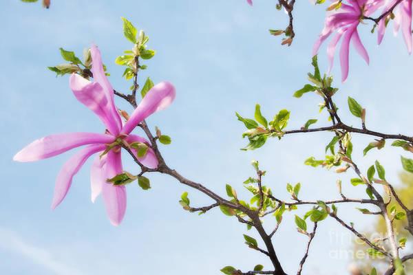 Photograph - Star Magnolias 2 by Chris Scroggins